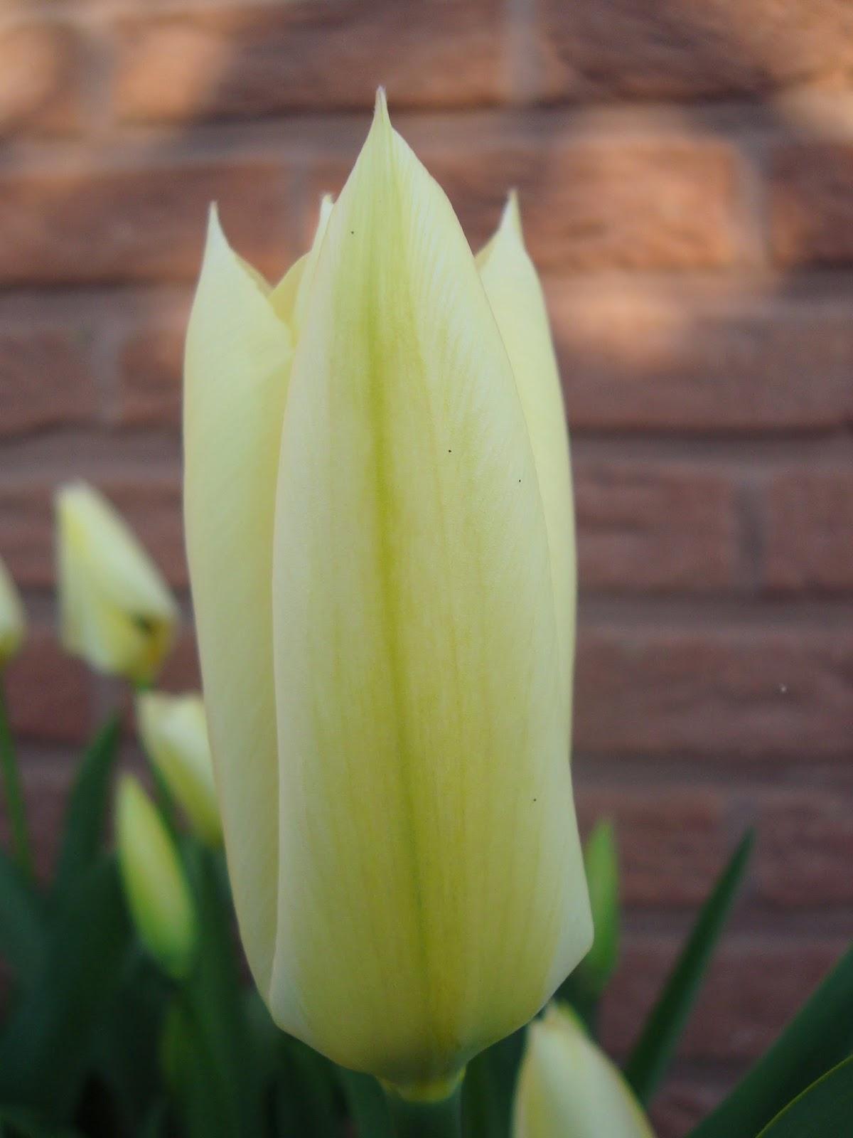 Passionn ment jardin un bulbe une tulipe purissima for Jardin 08000