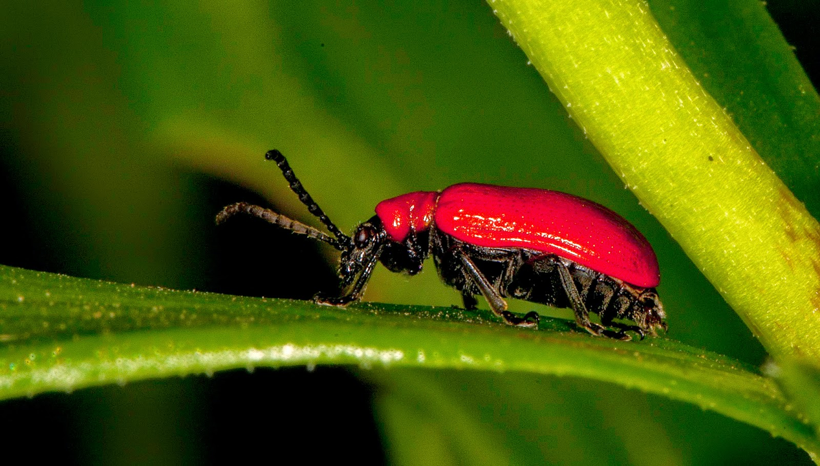 how to kill lily beetles