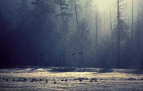 Canard Migrateur Forêt