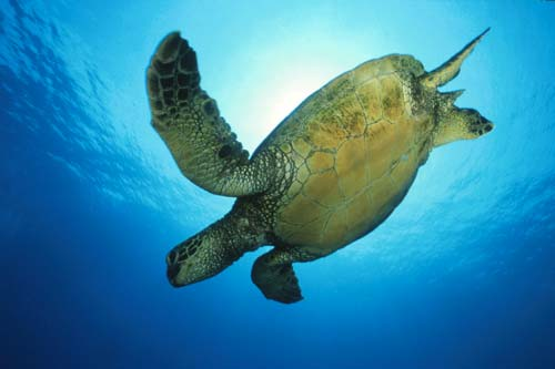 ... 2011 by Trends Green sea turtles , Green sea turtles swimming