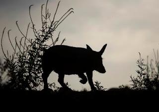 El Cerdo Ibérico por Chico Sánchez Reportaje Audiovisual