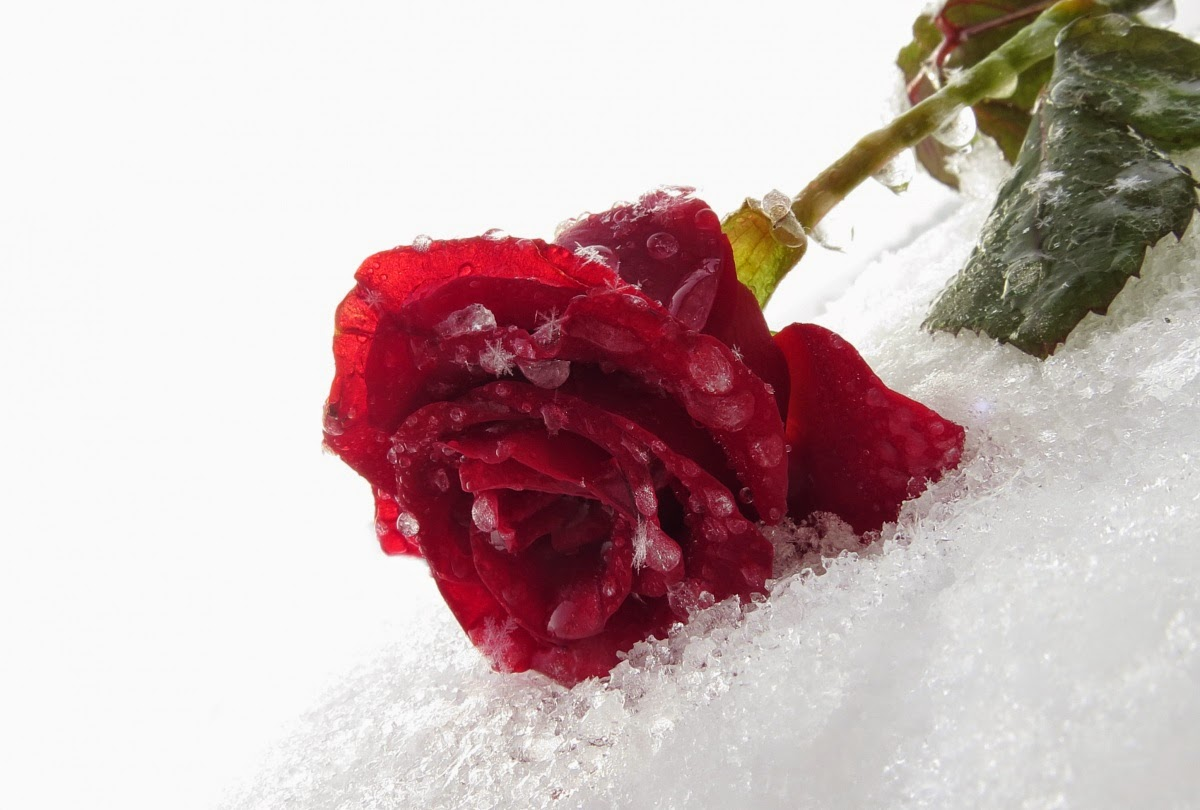 Roses Lover,Ice,Most Beautiful Flowers,Nature Images,Latest Nature Wallpaper,Latest  Roses Profile Picture,Flowers Background,Images For Whatsapp