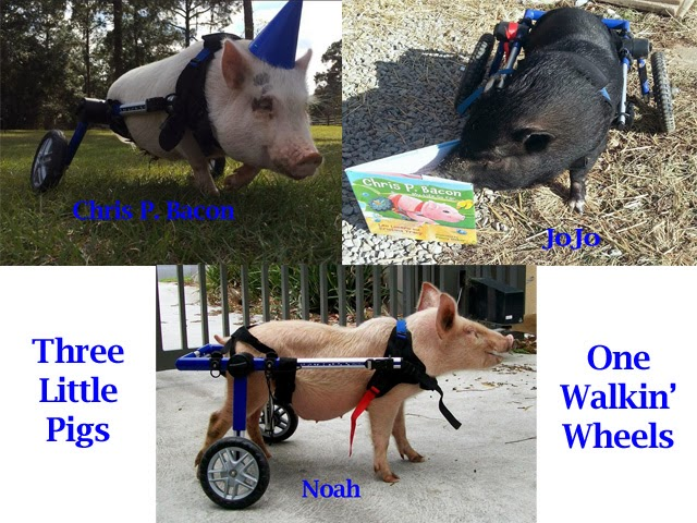 Three Little Pigs in Dog Wheelchairs