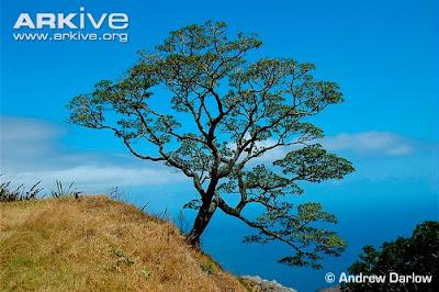 arbol madera de goma Commidendrum robustum
