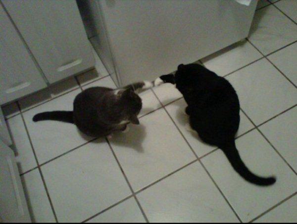 Два кота играют на кухне - прикольные коты 22-11-12
