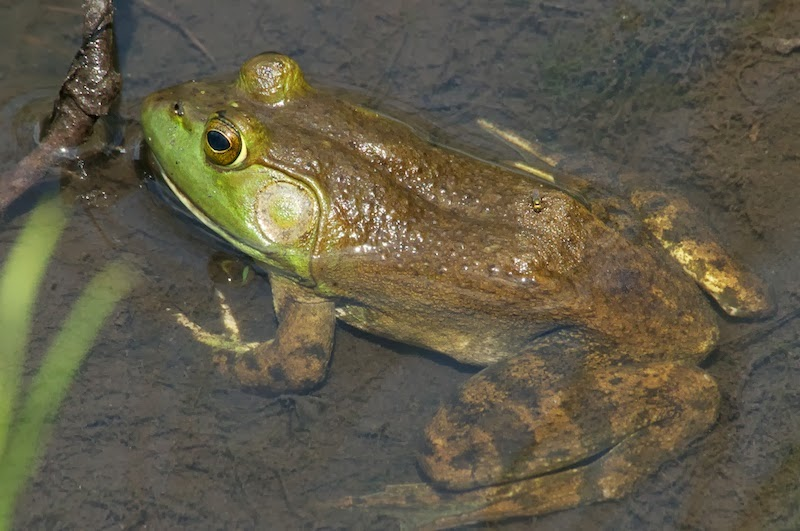 green frog (Lithobates clamitans)