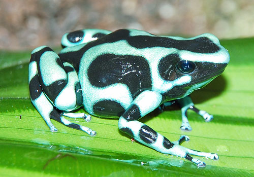 Poison Dart Frogs   The Most Poisonous Animal   The Wildlife