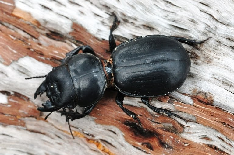 Paying Ready Attention - Photo Gallery: Large Black Beetle ...
