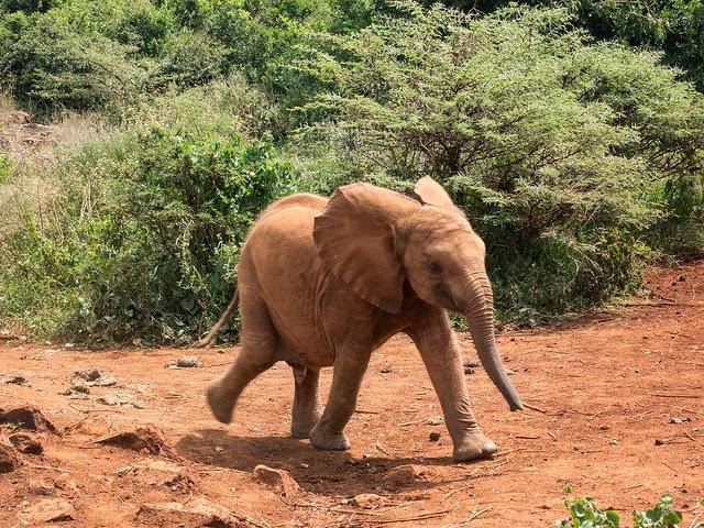 Pui de elefant