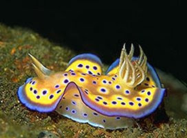 Nudiibranch Animal