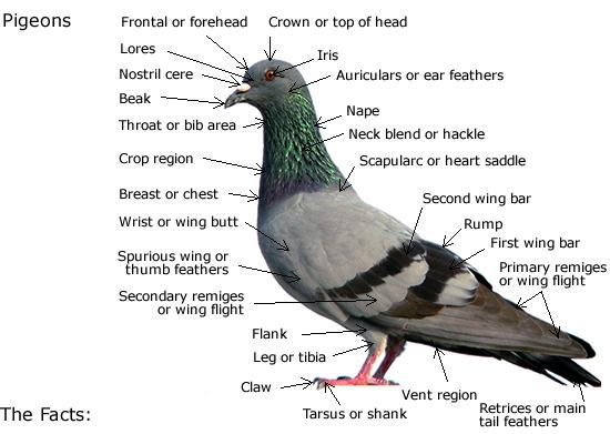 Essay on pigeon bird