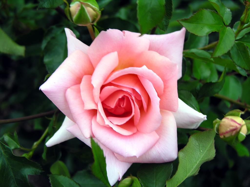 Sun Shines Rose Flower Pictures