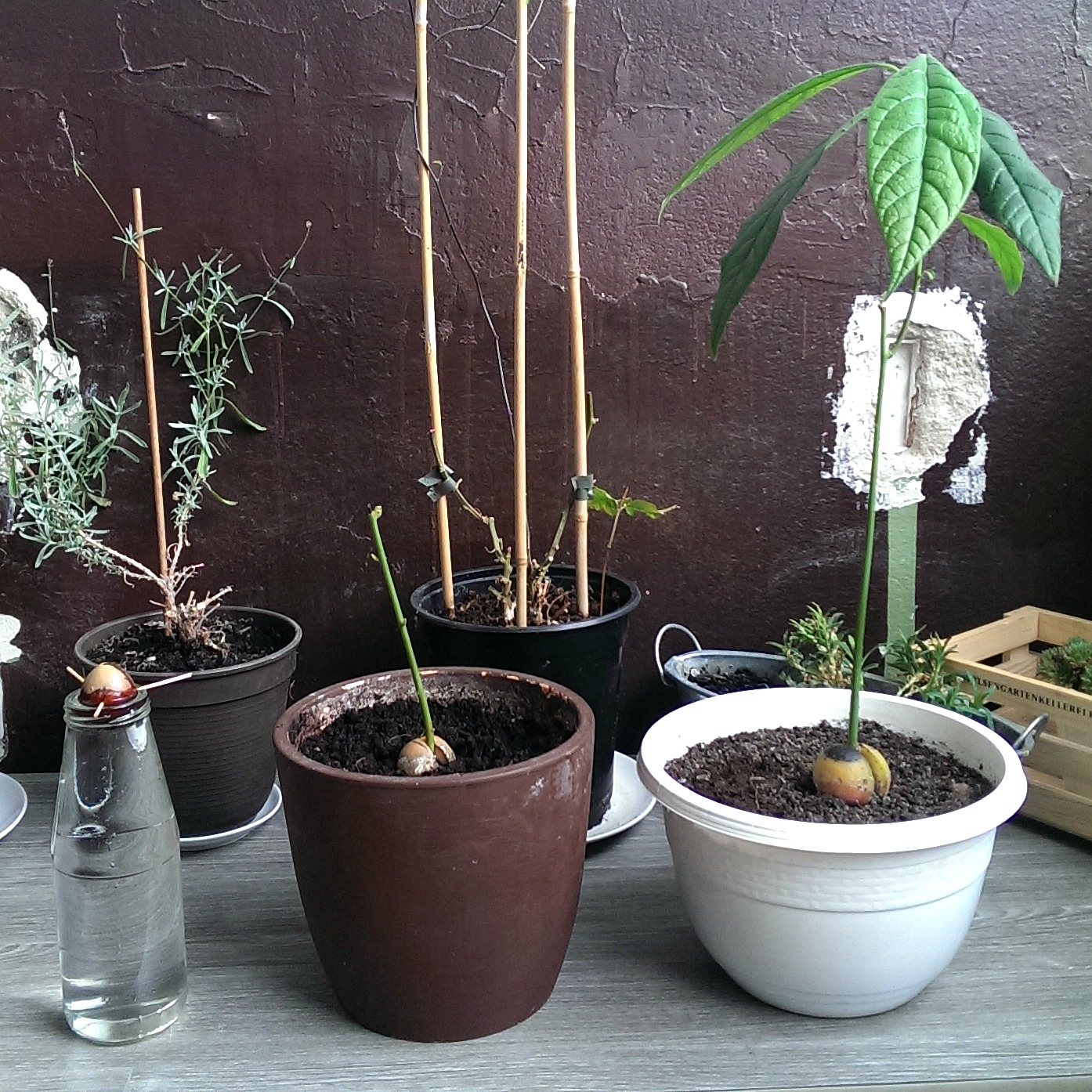 kukivegan avocadolove grow your own avocadotree. Black Bedroom Furniture Sets. Home Design Ideas