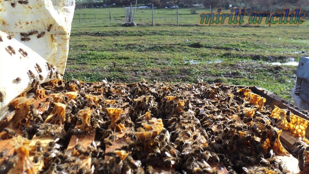 Saf ana arı kışın kovana nasıl verilir, kış günü kovan kontrolü nasıl yapılır, anasız kovan gözle nasıl anlaşılır neler yapılır