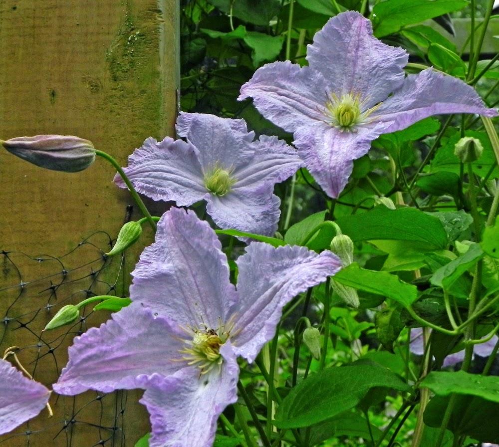 petal talk in search of the big blue flower. Black Bedroom Furniture Sets. Home Design Ideas