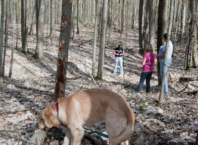 A 7-months-old golden retriever puppy is in the foreground sniffing a log in the early spring woods--the forest floor is covered with dried out leaves and the trees are barely greening with leaves. There are three people in the background.
