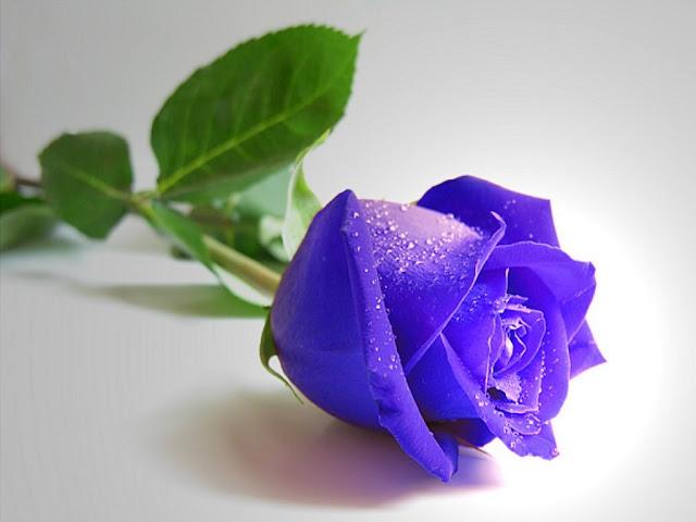 Hình ảnh hoa hồng xanh đẹp và lãng mạn