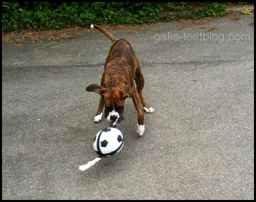 Boxer Amy mit dem Acitonball