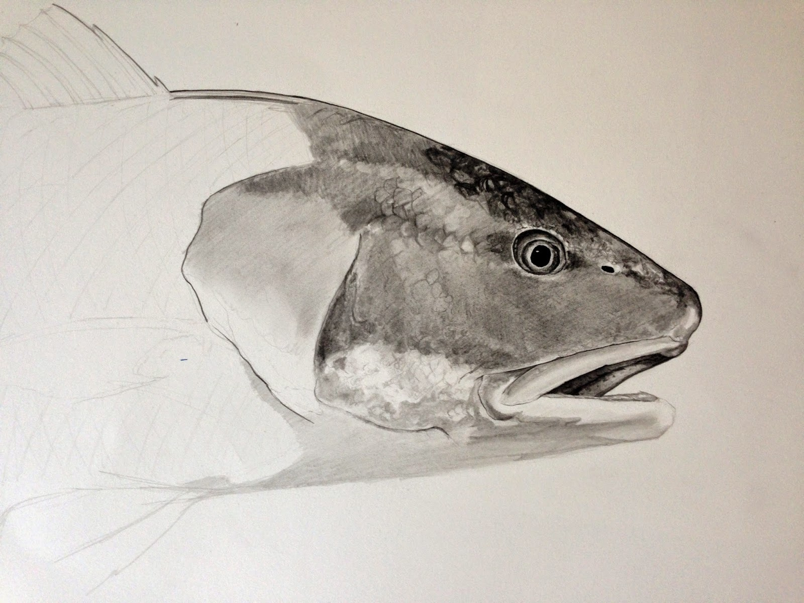 Finally finished up the drawing of Jen s redfish she caught in    Redfish Drawing