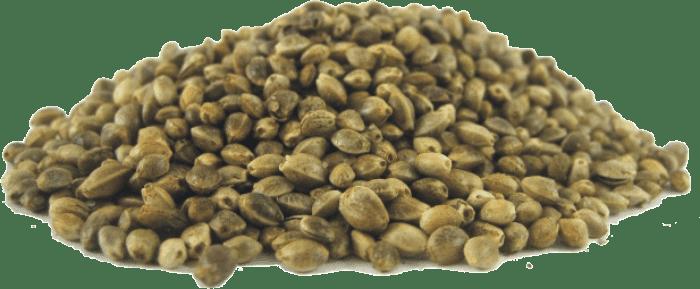 بذور القنب الهندي - زريعة الكيف