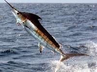 Manfaat Makan Ikan Todak Bagi Kesehatan