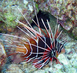ikan hias cantik : Lion Fish