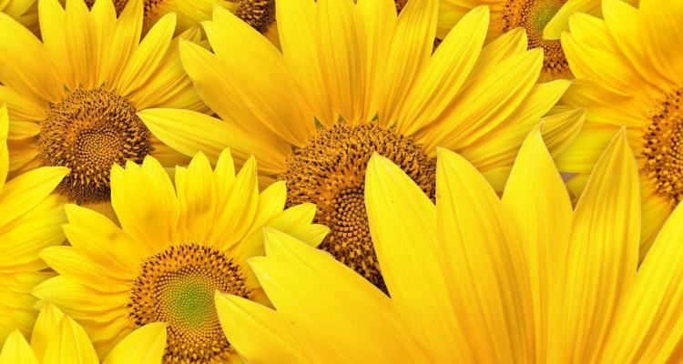 Yellow Sunflower wallpaper background