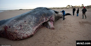 العثور على جثة حوت ضخم يبلغ طوله 40 قدما!