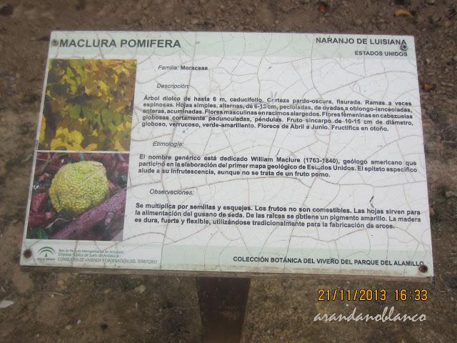 Parquealamillo encinarosa maclura pomifera naranjo de for Vivero del parque