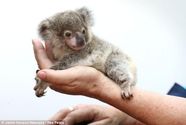 Orphaned baby koala was found on a roadside in Brisbane, Raymond the abandoned baby koala, baby koala pictures, little koala