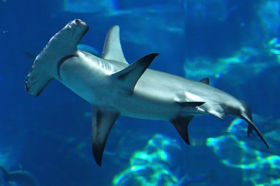 Hammerhead shark eating people - photo#17
