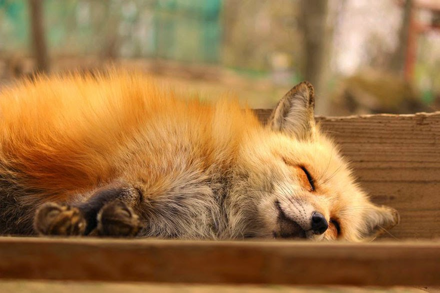 zao fox village japan adorable photos-12