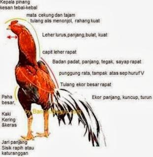gambar ayam aduan thailand
