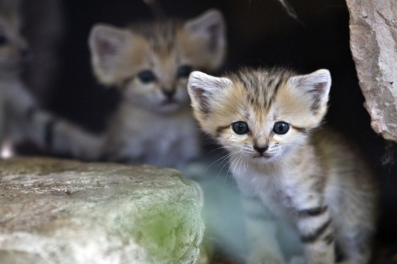 15 cutest endangered animals in the world - sand kittens