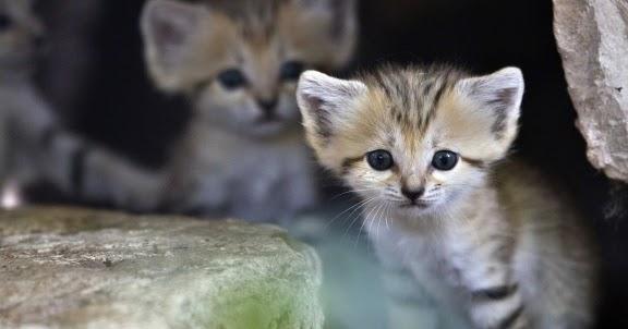 Fennec Cat