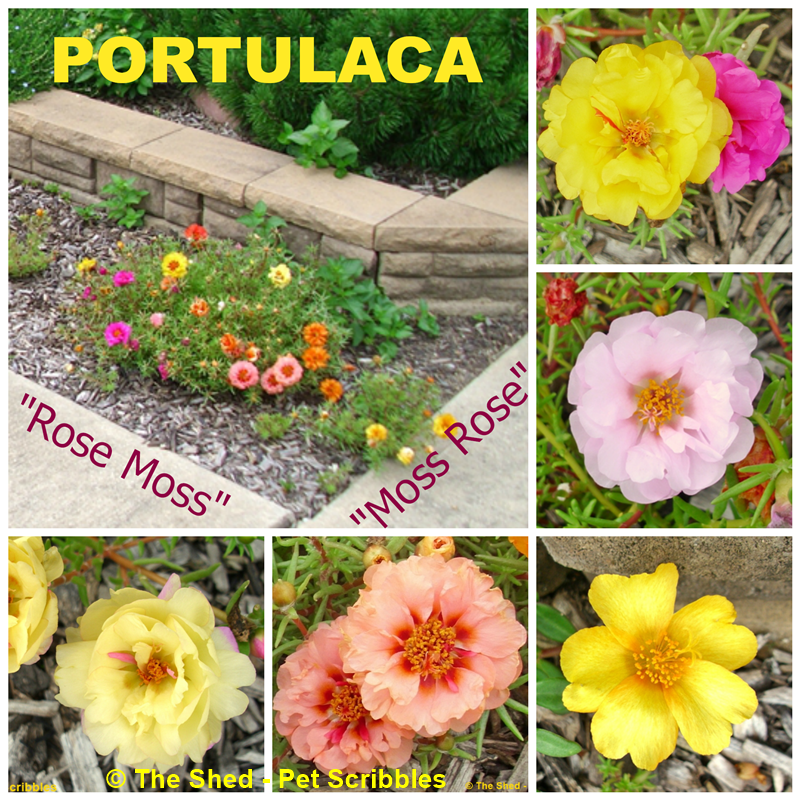 Portulaca, Rose Moss, Moss Rose - examples of single and double blooming varieties!