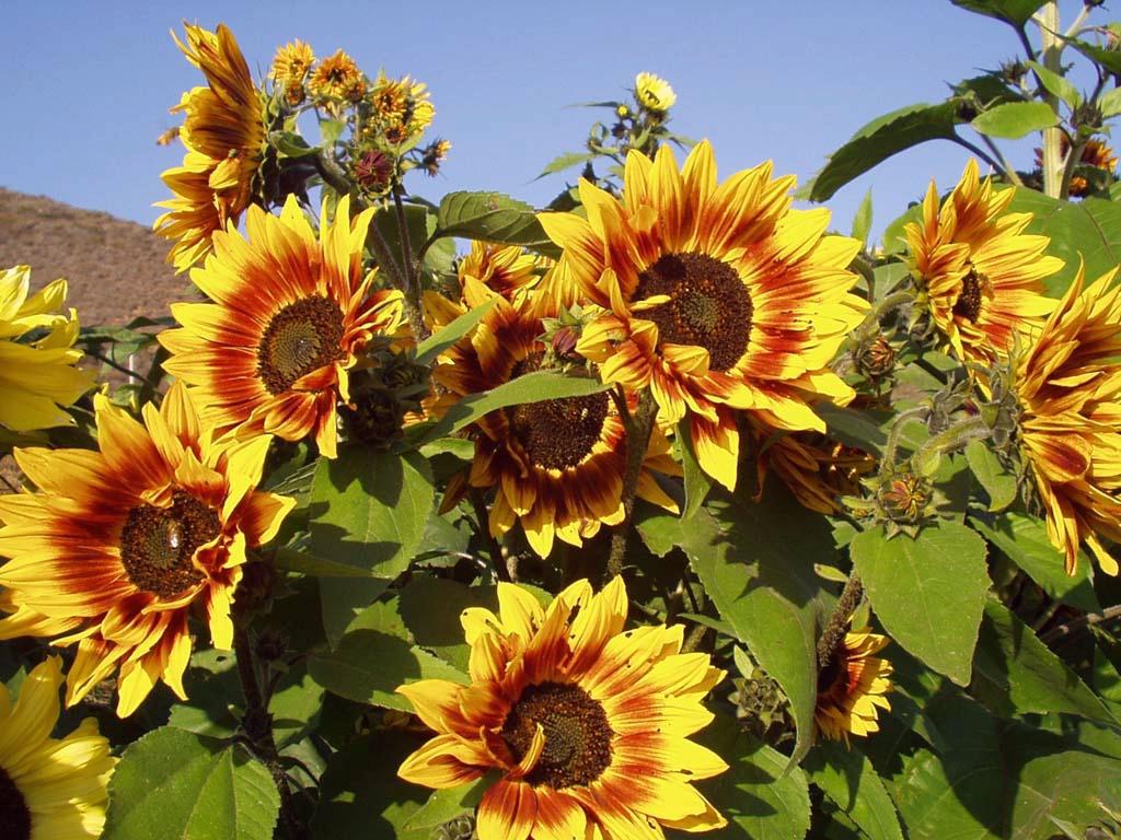 World Beautiful Sunflowers