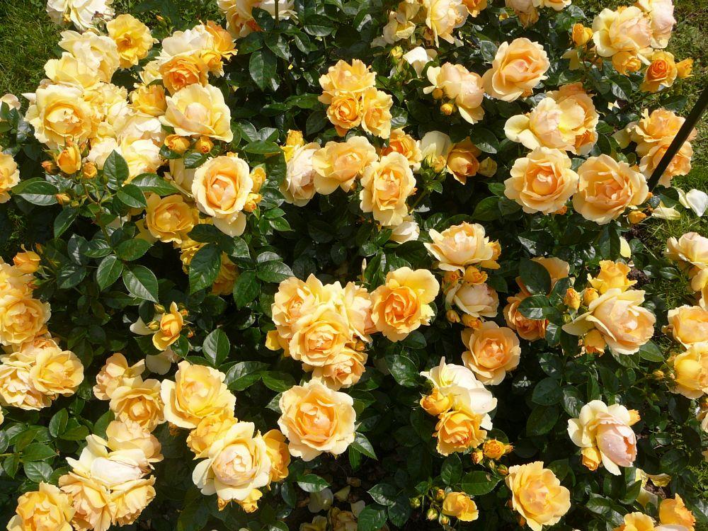 Розы в минске