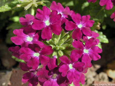 Las plantas ornamentales for Plantas decorativas ornamentales