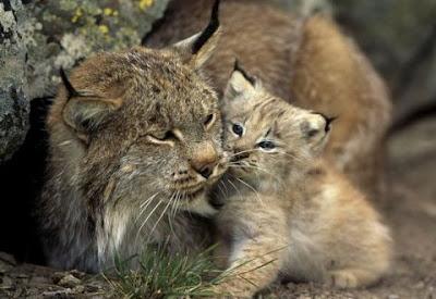 Lynx+Cat