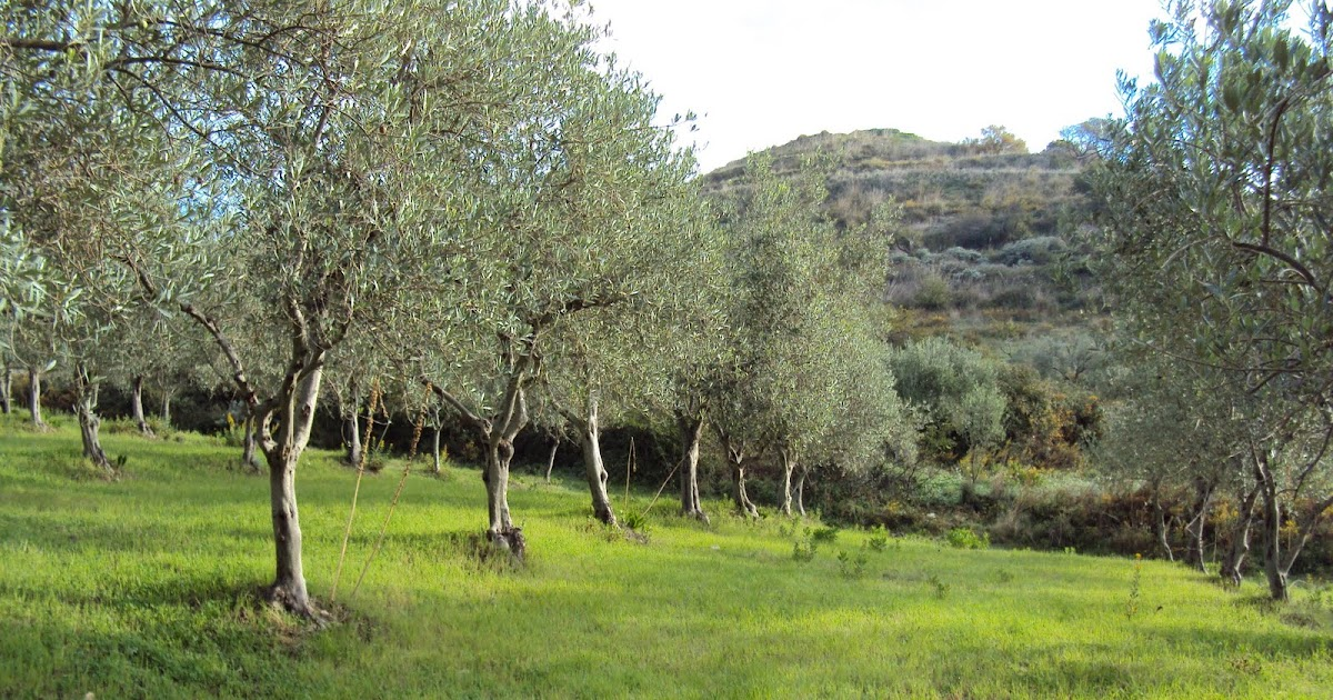 Sicilian olive grove for sale sicilian olive grove in for Olive trees for sale