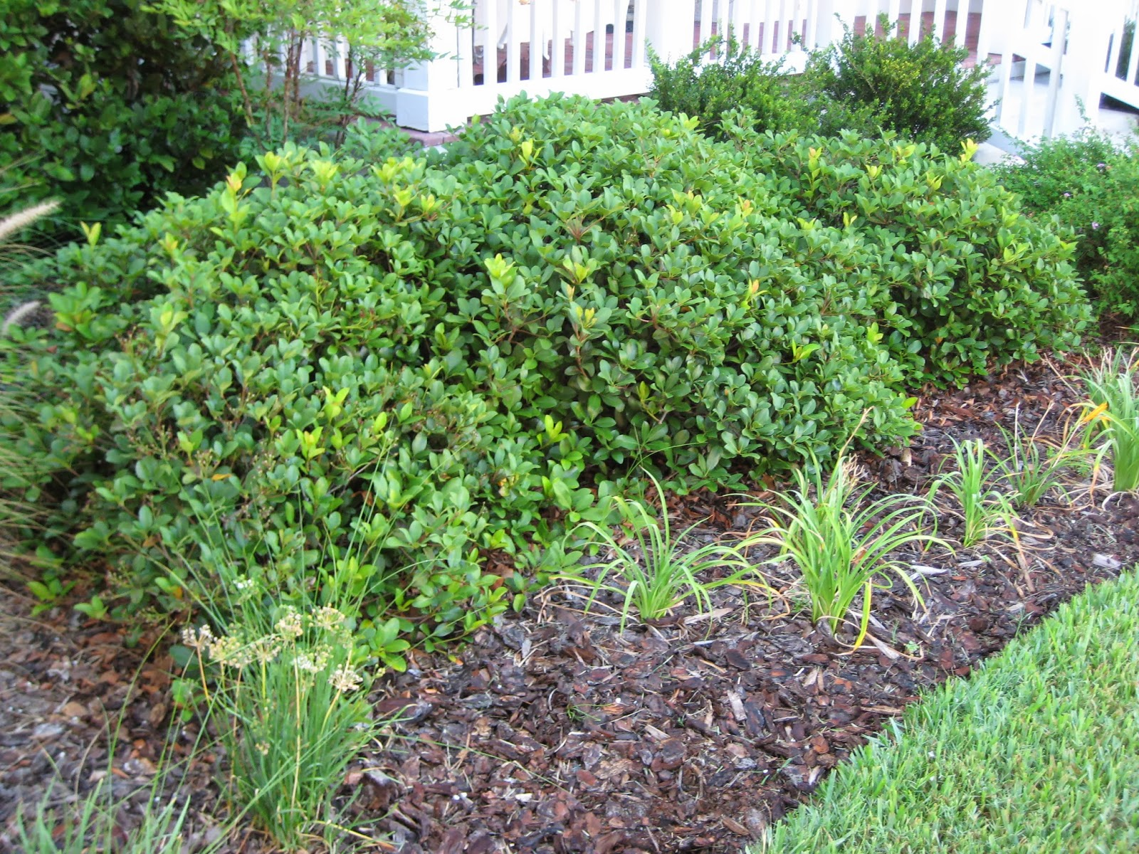 UF IFAS Extension Polk Gardening Selecting Small Shrubs How To