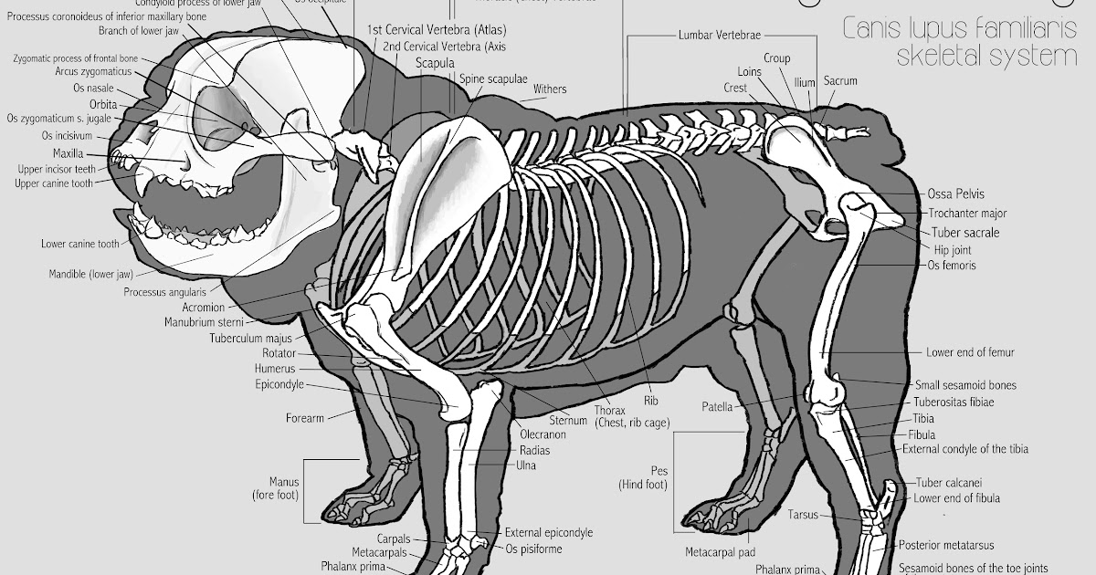 Chris Roman  English Bulldog Anatomy Study