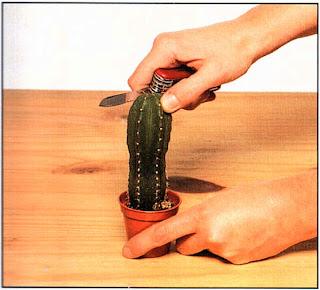 С помощью острого ножа срежьте верхушку подвоя, формируя плоскую поверхность