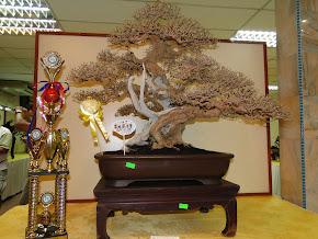 Bonsai盆栽参赛作品 2011-08-27