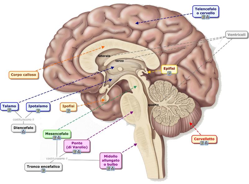 Anatomía básica del Hipotalamo e Hipofisis | Se dice Médico