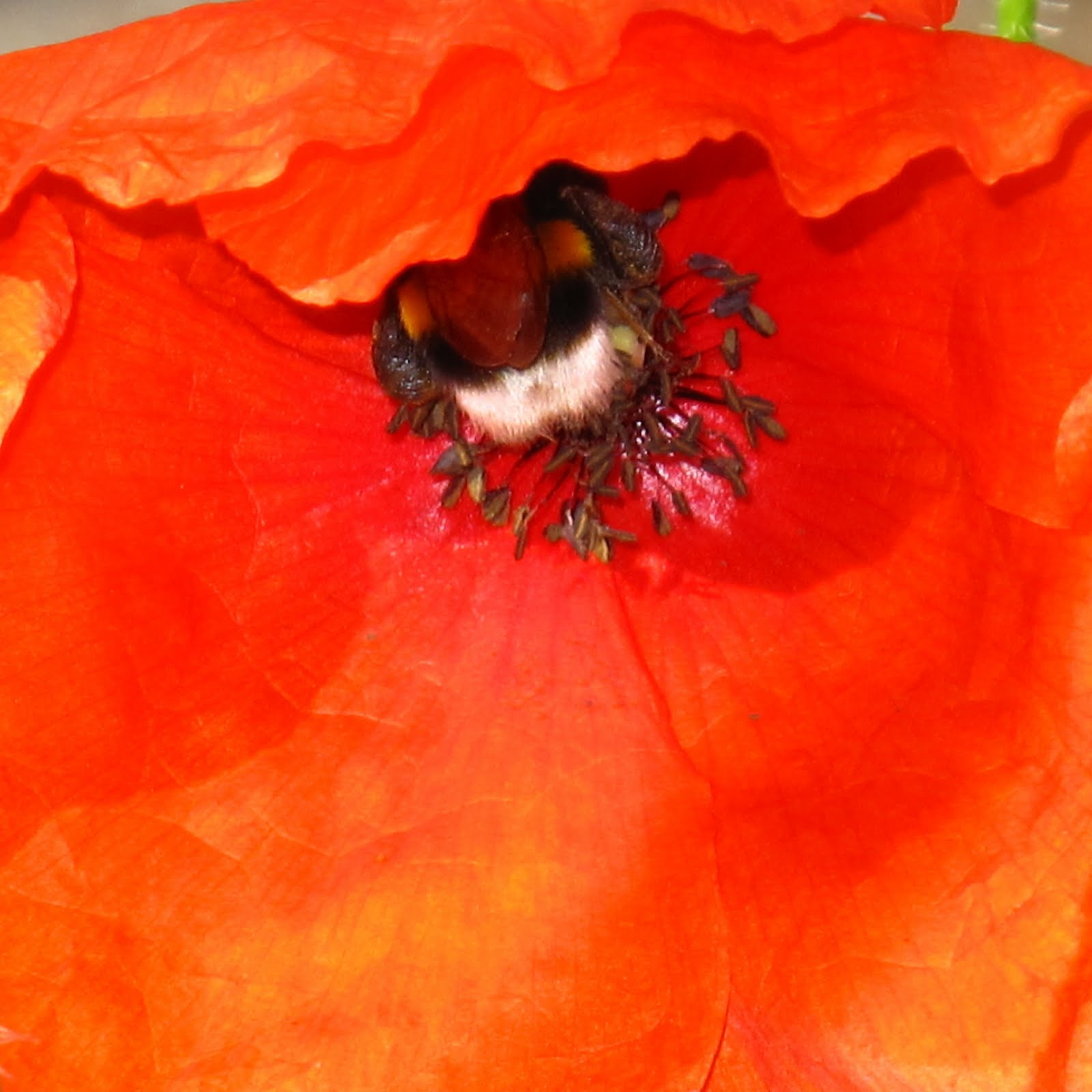 BugBlog: Buzzing bees in poppies