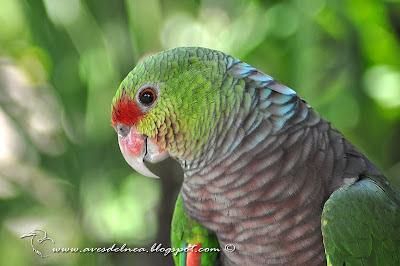 http://avesdelnea.blogspot.com.ar/2012/01/loro-vinoso-vinaceous-breasted-parrot.html
