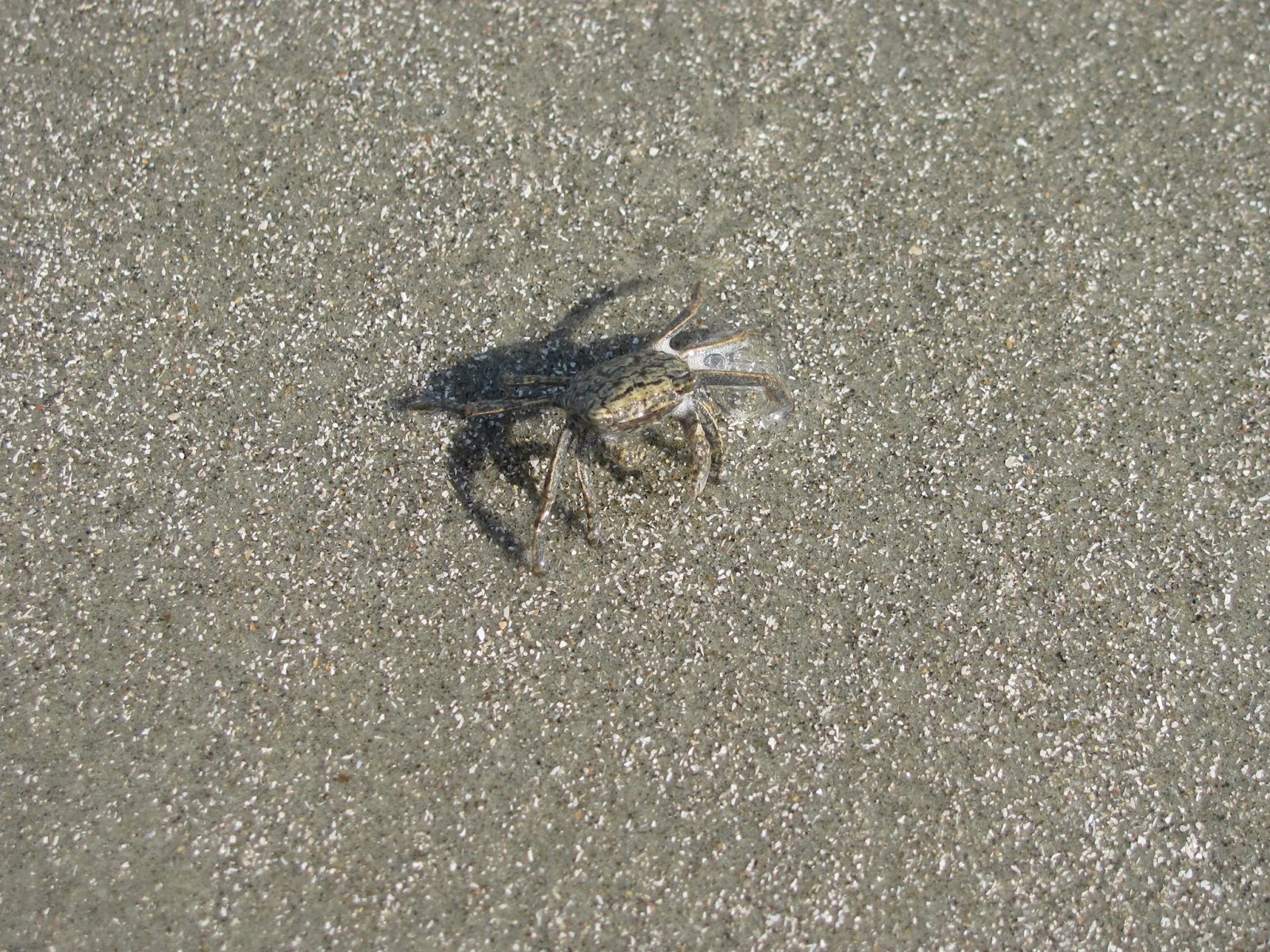 Little crab scuttles on the beach near Charleston, SC