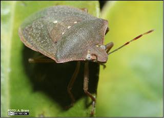 Nezara virudula presenta una coloraci 243 n verde pero pueden